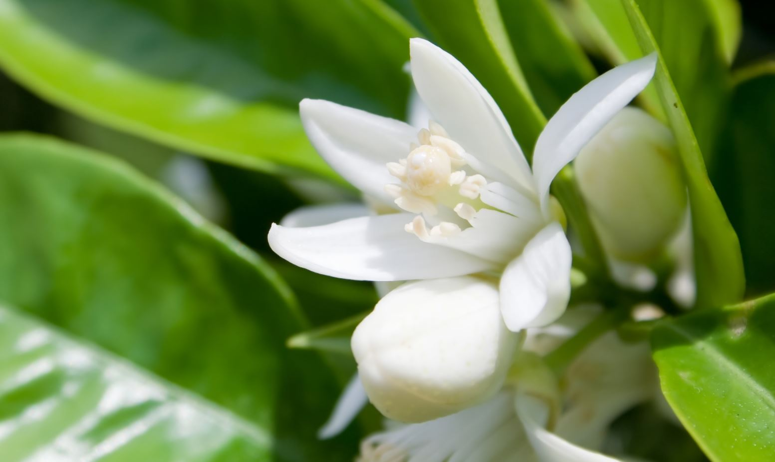 The health benefits of neroli essential oil money oil mightylinksfo